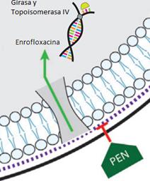 Asociaciones antimicrobianas, una herramienta contra las infecciones bacterianas resistentes.