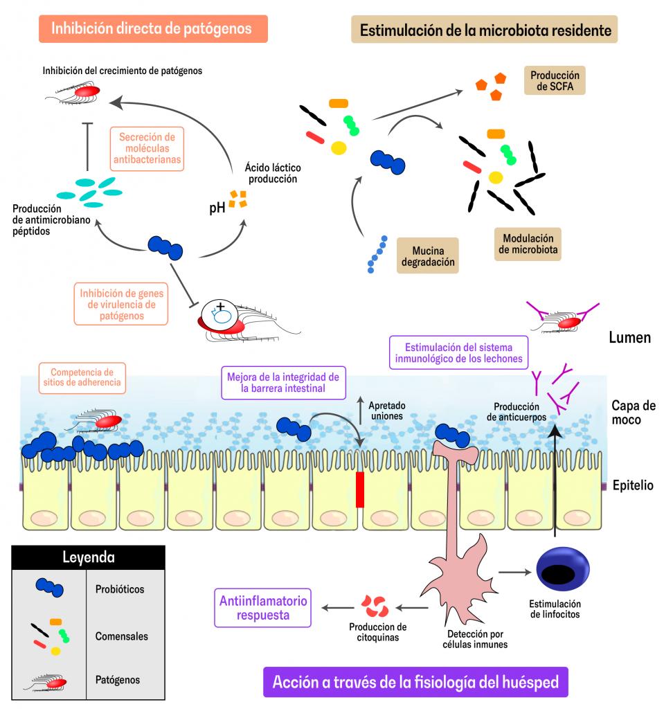 La microbiota intestinal del cerdo: Cómo moldearla y usarla a nuestro favor