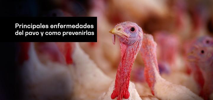 Principales enfermedades del pavo y como prevenirlas